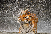 Tigress Posters - Twist and Shake Poster by Ashley Vincent
