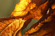 Backlit Leaf Prints - Twisted Backlit Hydrangea in November Print by Anna Lisa Yoder