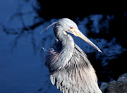 Heron Portrait Posters - Twisted Neck Poster by Christiane Schulze
