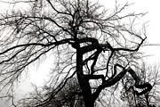 Tree Photograph Prints - Twisted Tree in Black and White Print by Ann Powell