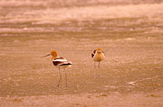 Black Wings Prints - Two Avocets Print by Jeff  Swan