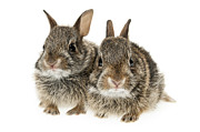 Rabbits Framed Prints - Two baby bunny rabbits Framed Print by Elena Elisseeva