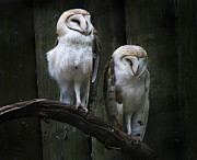 Lynn Jackson - Two Barn Owls
