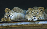 Sheila Smart - Two beautiful lion cubs