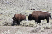 Robin Maria  Pedrero - Two Bison