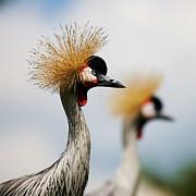 Nick  Biemans - Two Black Crowned Cranes