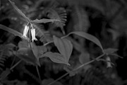 Black And White Prints Originals - Two Buds by Jon Glaser
