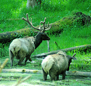 Elk Wildlife Prints - Two Bull Elk In Velvet Print by Jeff  Swan