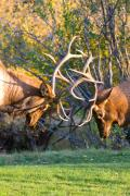 Wildlife Art Posters Framed Prints - Two Bull Elk Sparring Framed Print by James Bo Insogna