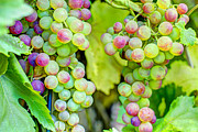 Vineyard Art Photo Posters - Two Bunches Poster by Heidi Smith