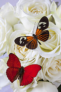 Petal Photo Prints - Two butterflies on white roses Print by Garry Gay