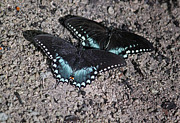 Spicebush Swallowtail Prints - Two by Two Print by Suzanne Gaff