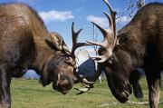 Threatening Prints - Two Captive Bull Moose Sparring Print by Doug Lindstrand