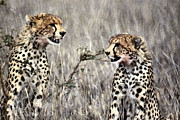 Cheetahs Digital Art Posters - Two Cheetahs Poster by Russ Considine
