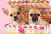 Puppies Digital Art Posters - Two Chihuahuas Poster by Greg Cuddiford