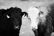 Nosy Prints - Two Cows One Black One Brown And White With Yellow Ear Tags Visible Look Towards Camera Rathlin Isla Print by Joe Fox
