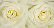 Stephen Cordory - Two cream roses