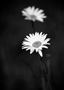 York Beach Metal Prints - Two Daisies Metal Print by Sabrina L Ryan