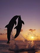 Cetaceans Posters - Two Dolphins Jumping Together At Sunset Poster by Brandon Cole