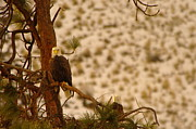 Bald Eagles Posters - Two Eagles Hanging Out In Their Nest Poster by Jeff  Swan