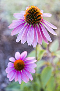 Late Summer Framed Prints - Two Echinacea Framed Print by Caitlyn  Grasso