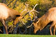 Estes Park Framed Prints - Two Elk Bulls Sparring Framed Print by James Bo Insogna