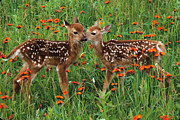Friends Forever Prints - Two Fawns Talking Print by Chris Scroggins