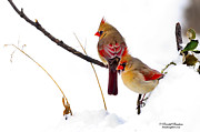 Two Females Posing As Cardinals Print by Randall Branham