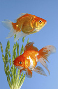 Cute-pets Digital Art - Two Fish FS101 by Greg Cuddiford
