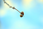 Acorns Photos - Two frozen acorn by Tommy Hammarsten