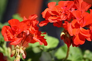 Red Geraniums Prints - Two Geraniums Print by Mary-Lee Sanders