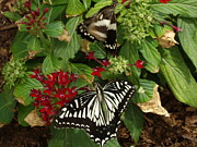 Barbara Lightner - Two Giant Swallowtail...
