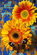 Flowers Gerbera Prints - Two golden mums with butterfly Print by Garry Gay