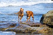 Two Waves Prints - Two Golden Retriever Dogs Running on Beach Rocks Print by Susan  Schmitz