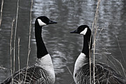 Maydale Framed Prints - Two Goose Tango Framed Print by Mary Zeman