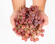 Vine Grapes Prints - Two Handfuls of Red Grapes Print by James Bo Insogna