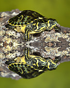 Robert Jensen Posters - Two-headed Yellow-bellied Slider Turtle Poster by Robert Jensen