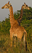 Giraffes Posters - Two Heads Are Better Than One Poster by Aaron S Bedell