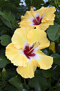 Sally Weigand - Two Hibiscus