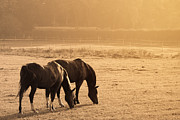 Grazing Horse Originals - Two Horses In A Field by Christophe ROLLAND