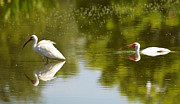 Sheila Price - Two Ibis in Florida Pond