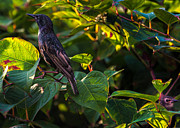Starlings Prints - Two In The Bush Print by Bob Orsillo
