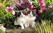 Paws Paintings - Two kittens sit in the rocks of a flower garden in the backyard of a home by Lanjee Chee