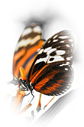 Milkweed Posters - Two large tiger butterflies Poster by Elena Elisseeva