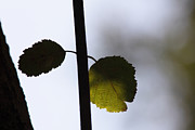 Two Leaves Print by Intensivelight