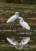 Tom Janca - Two Lesser Egrets