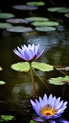 Lily Pad Greeting Cards Posters - Two Lovely Lotus Flowers   Poster by Kristina Deane
