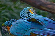 Colleen Renshaw - Two Macaws