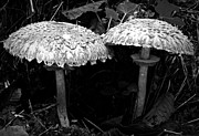 Toadstools Framed Prints - Two Magnificent Mushrooms Monochrome Framed Print by Chalet Roome-Rigdon