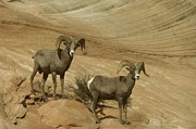Living Things Prints - Two Male Rams At Zion Print by Jeff  Swan